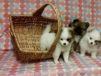 pomeranian puppies: 1 male and 2 females available