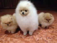 Tiny cream male named Giggy. He is Purebred pomeranian