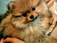 We have a gorgeous female Pomeranian puppy available.
