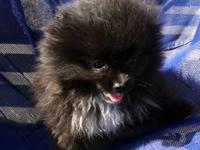 "Purebred Pomeranian male puppy. ""Nero"" is black with"