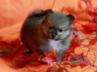 Gorgeous Pomeranian Puppy with nice personality was