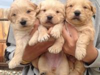 Stunning poodle pom puppies !! - males, females. Ready