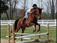 Tex is a gorgeous bay saddlebred. He is 7 years old and