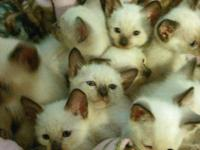 Kittens are pure Siamese kittens they will 7 weeks old