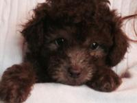 2 ADORABLE PUREBRED AKC REGISTERED, MALE TOY POODLE