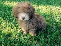 GORGEOUS , PUREBRED AKC REGISTERED TOY POODLE MALE