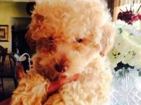ADORABLE PUREBRED AKC REGISTERED, MALE TOY POODLE