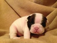 Our English Bulldog infants were born November 7, 2014.
