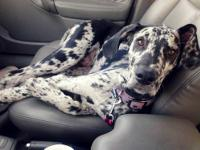 Fern is a beautiful Blue Merle Great Dane puppy (black