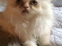Beautiful purebred Himalayan kittens. Super silly,