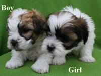 Absolutely Adorable Purebred Shih Tzu Puppies! One boy