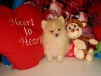 Purebred Teacup Size Pomeranian (Pom Pom) Puppy!!! * 17