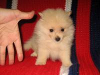 Gorgeous Purebred Pomeranian (POM POM) Male Pups! * 8