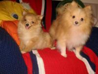 Purebred Teacup Size Pomeranian (Pom Pom) Pupy!!! * 4