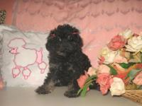 Stunning Purebred Teeny Tiny Toy Poodle Puppy ~ CKC