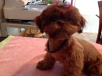 This is a perfect example of a gorgeous red Liver Shih