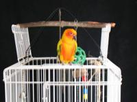 I have a beautiful fully feathered red throat conure