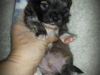 I HAVE TWO ADORABLE REG. CHIHUAHUA PUPPIES THAT WILL BE