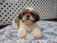 Beautiful signed up Shih Tzu Puppy. He is white and