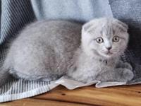 Gorgeous Scottish fold and straight shorthair kitties