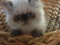Very fine male seal point Himalayan kitten. Excellent