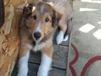 Gorgeous sheltie puppy looking for furever home to be