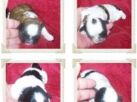 Shih Tzu puppies!! 4 children available. Born 11/26/14.