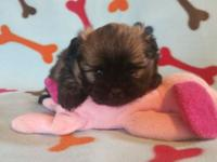 Beautiful female Shihtzu Pomeranian puppy that is so