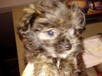 10 wk old Small Female, Beautiful Temperament, Happy,