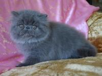 Sensational blue kitty, prepared to go home now! He