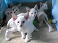 We have a new litter of Siamese Classic kittens, ready