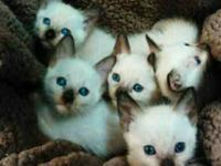 Gorgeous Siamese kittens seal point comes with shots