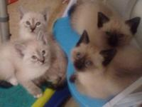 Four Siamese kittens left. All males. 2 seal points, 2
