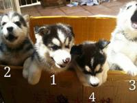 4 purebred siberian husky puppies available and ready