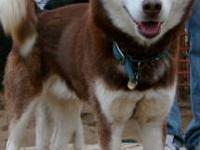 Moss is a gorgeous male, Neutered, Siberian husky. He