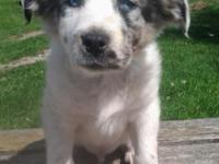 Absolutely gorgeous male Australian Shepherd-Husky