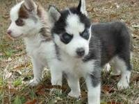 I have two cute Siberian husky puppies for adoption ,