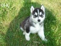 We have pure bred Siberian husky puppies for your