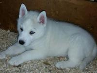 GORGEOUS Siberian Husky puppies available; they are