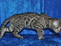 Beautiful Silver Male Bengal Kitten available Taylor
