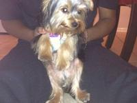 Adorable Yorkie for adoption! Six months old and crate