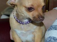 For sale we have a gorgeous Smooth Coat Chihuahua from