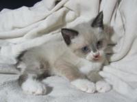 Female, long tail, crystal blue eyes. White markings on