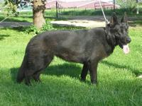 Really gorgeous, med-high drive female GSD. Very nice.