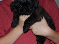 Magnificent SOLID BLACK female shih tzu baby woman,
