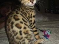 Exotic Rosetted Spotted Female. 10 weeks old. TICA