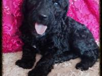 My beautiful white parti factored standard poodle named