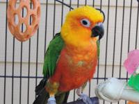 Hi I have a Beautiful Sun Conure up for adoption. He