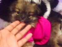 Gorgeous Tiny Teacup female Pomeranian puppy. Will be 3