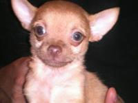 Mr. Dinka is a strawberry blonde colored, teacup size,